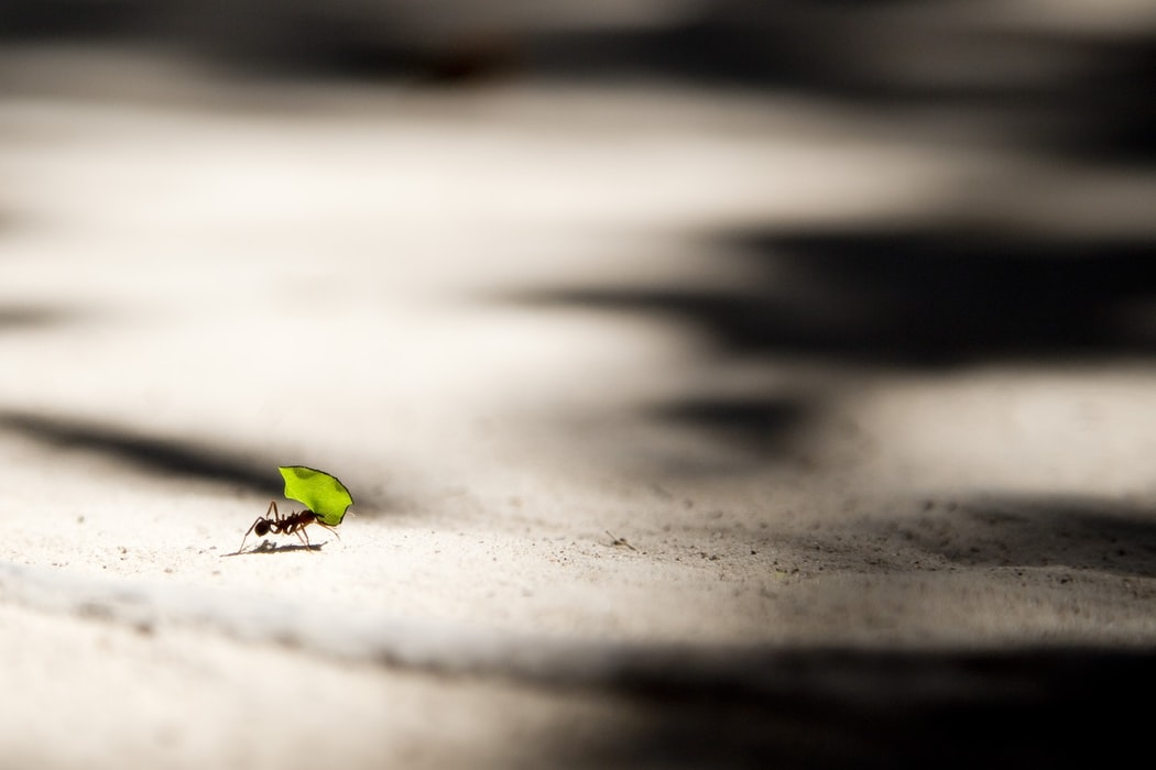 Ant carrying leaf - know your strengths